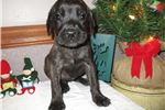 Picture of AKC registered female English Mastiff puppy