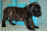 Picture of AKC registered male English Mastiff puppy-Nixon
