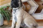 Picture of AKC registered female English Mastiff puppy-Nova