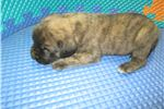 Picture of AKC registered male English Mastiff puppy (Dandy)