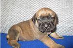 Picture of AKC registered female English Mastiff puppy-Nadia