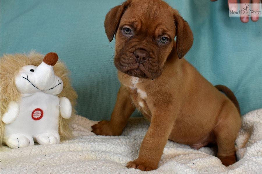Dogue De Bordeaux puppy for sale near Zanesville ...