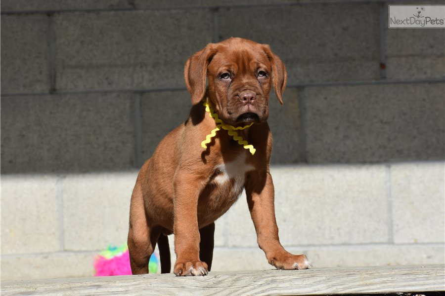 Yellow: Dogue De Bordeaux puppy for sale near Zanesville ...