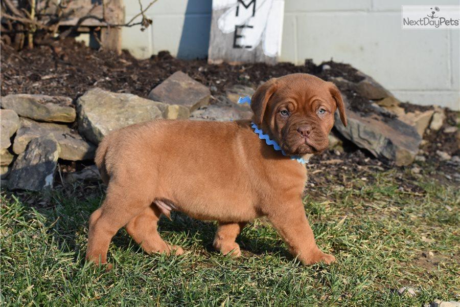 Blue: Dogue De Bordeaux puppy for sale near Zanesville ...