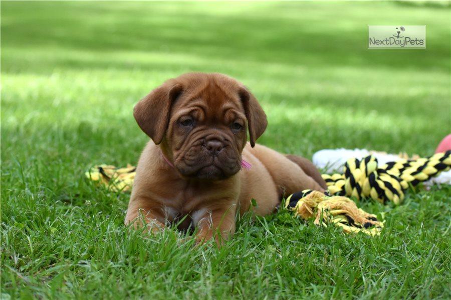 Pink Collar: Dogue De Bordeaux puppy for sale near ...