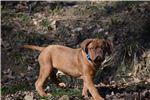 Picture of Dogue de Bordeaux - Blue Collar Male