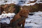 Picture of Dogue de Bordeaux - Brown Collar Male