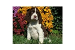 Picture of an English Springer Spaniel Puppy