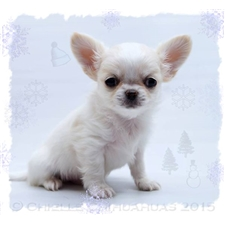 View full profile for Chauntelle, Chielle Chihuahuas