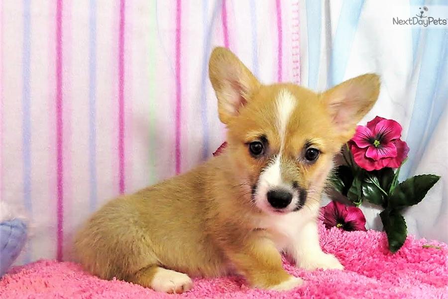 Lulu: Corgi puppy for sale near Denver, Colorado   74d0049c-02c1