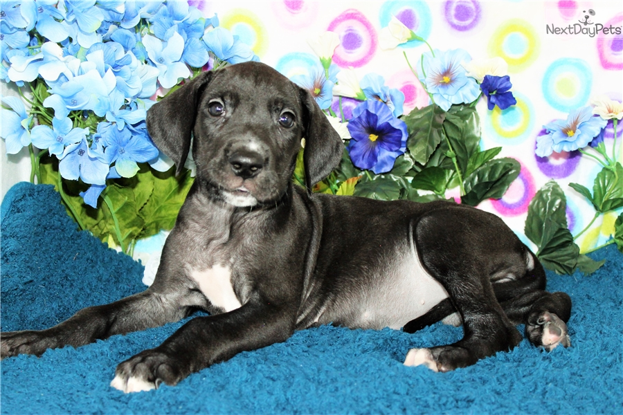 Salsa Great Dane Puppy For Sale Near Denver Colorado 67a80f8d E871
