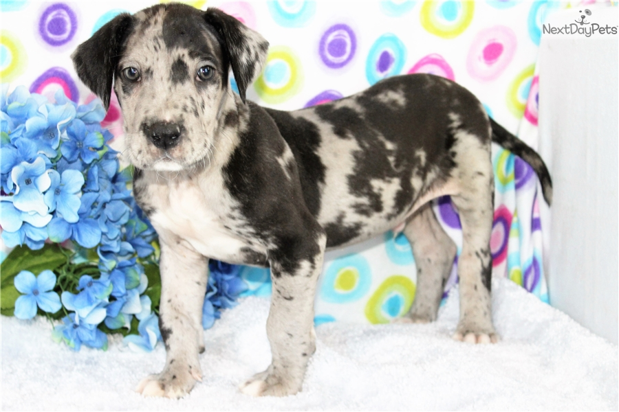 Raleigh Great Dane Puppy For Sale Near Denver Colorado B78f8638 Cef1