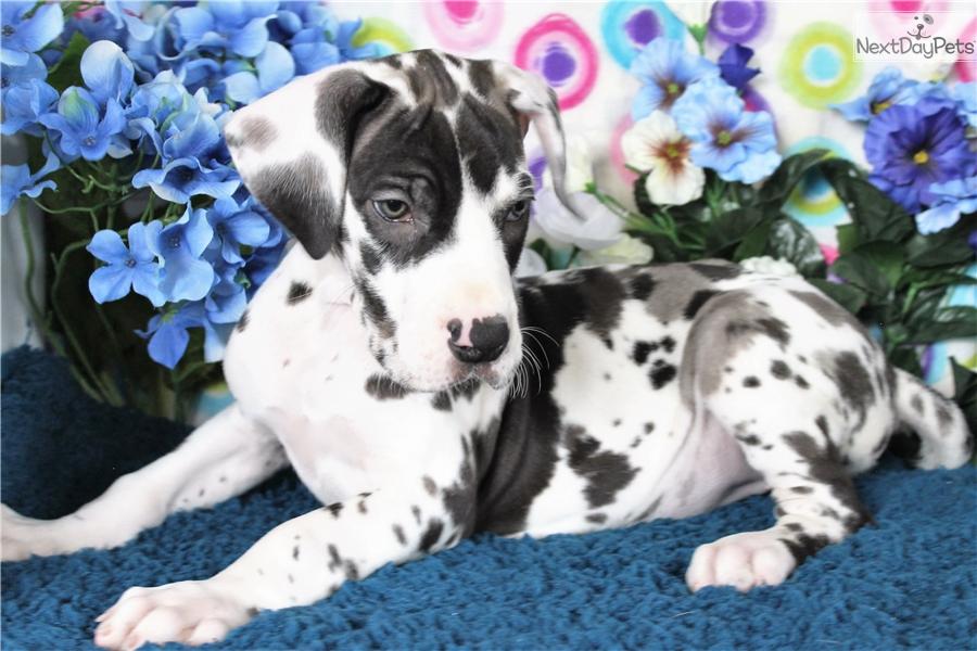 Ziva Great Dane Puppy For Sale Near Denver Colorado 32881f14 8651