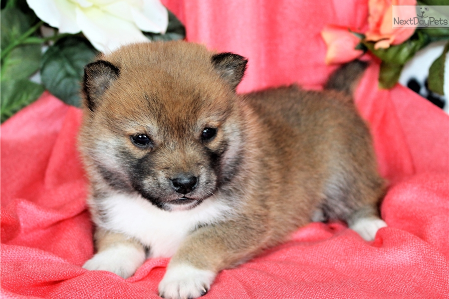 Lee Shiba Inu Puppy For Sale Near Denver Colorado