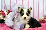 Picture of a Corgi Puppy