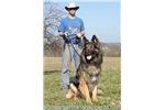 Picture of Giant German Shepherds bred as family companions