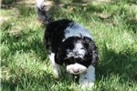 Picture of Beautiful F1 Cavapoo Puppy Available