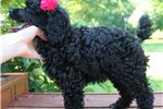 Picture of Moyen Poodle Baby.. Taking deposits to hold!