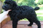 Picture of Beautiful Male Black Moyen Poodle!