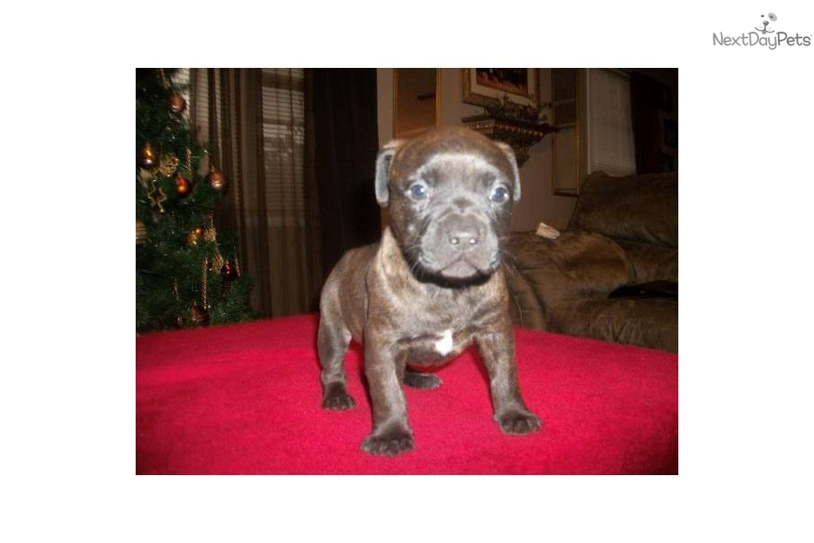Brindle American Pit Bull Terrier For Sale - Bitterroot Public Library