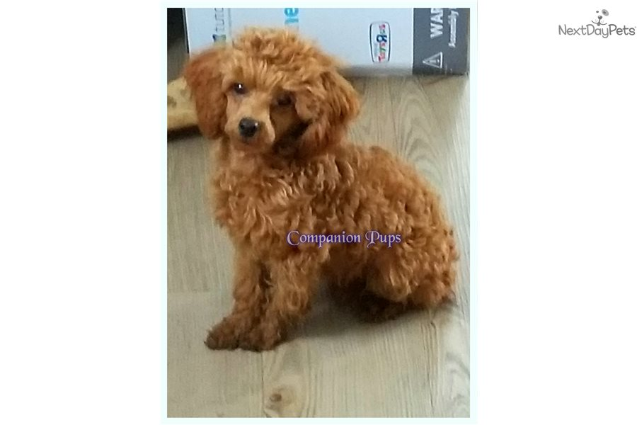 Toy Aussiedoodles Aussiedoodle Puppy For Sale Near