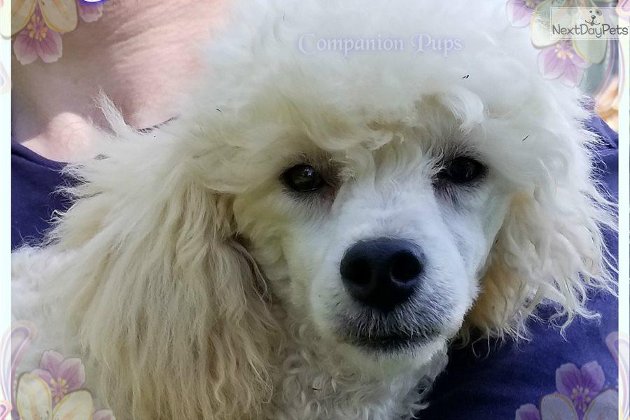 Tristan Poodle Miniature Puppy For Sale Near Nashville