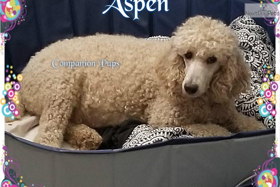 Aspen Poodle Standard Puppy For Sale Near Nashville