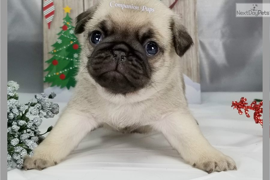 Pugs: Pug puppy for sale near Nashville, Tennessee ...