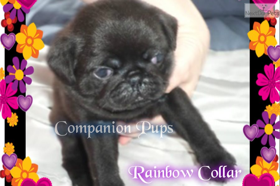 Rainbow Pug Puppy For Sale Near Chattanooga Tennessee
