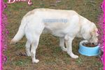 Picture of Daisy Sweet Affectionate ~ FULL AKC