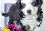Picture of VIDEO ~Fuzz ~ Playful Love Bug ~Striking Blue Eyes