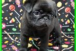 Picture of AKC PUGS ~ www.CompanionPups.com ~ Simply The Best