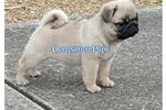 Picture of Pug Kisses' and Loving ~ www.CompanionPups.com