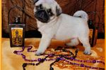 Picture of Cutest PUGS Puppies Ever! ~ www.CompanionPups.com