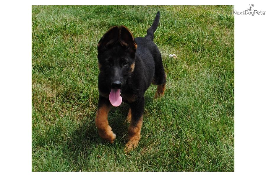 German Shepherd puppy for sale near New Hampshire ...