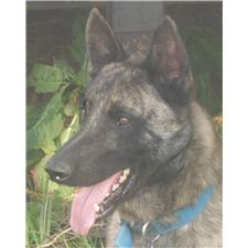 View full profile for Aachen Dutch Shepherds