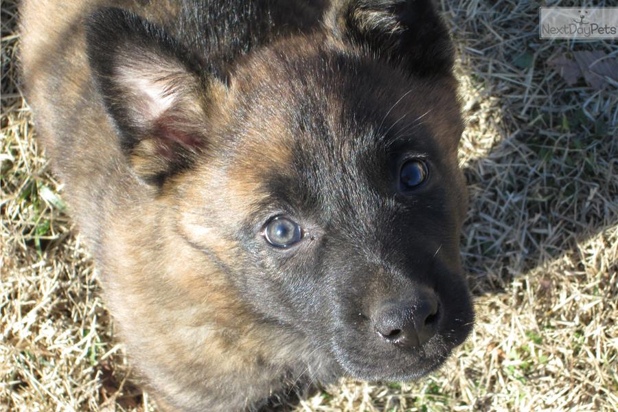Puppies For Sale From Aachen Dutch Shepherds Member Since April 2008
