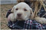 Picture of akc/ofa/cerf/dna ch. sired Lab puppy Ewok