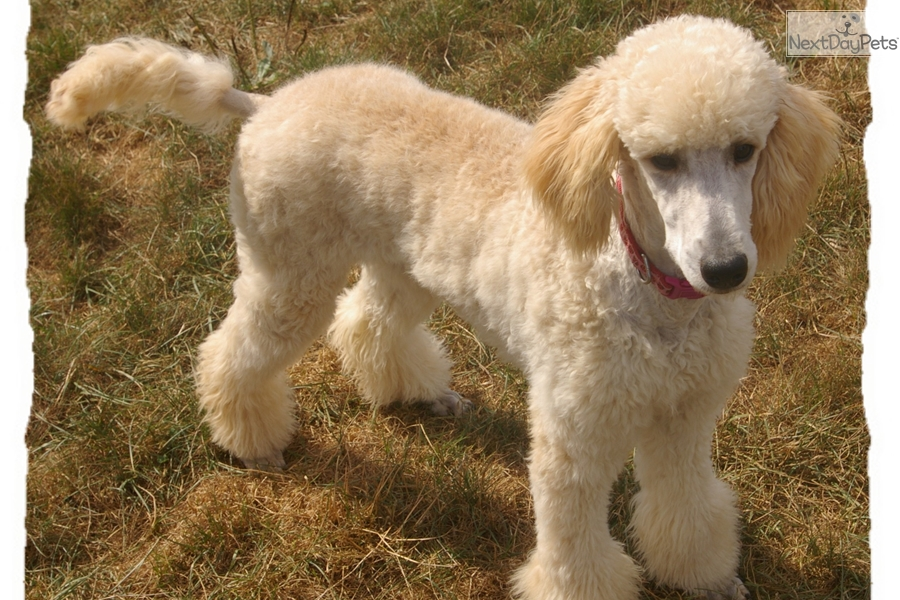 Angie Poodle Standard Puppy For Sale Near Akron Canton