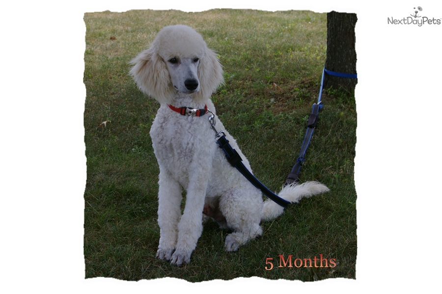 Harry Poodle Standard Puppy For Sale Near Akron Canton