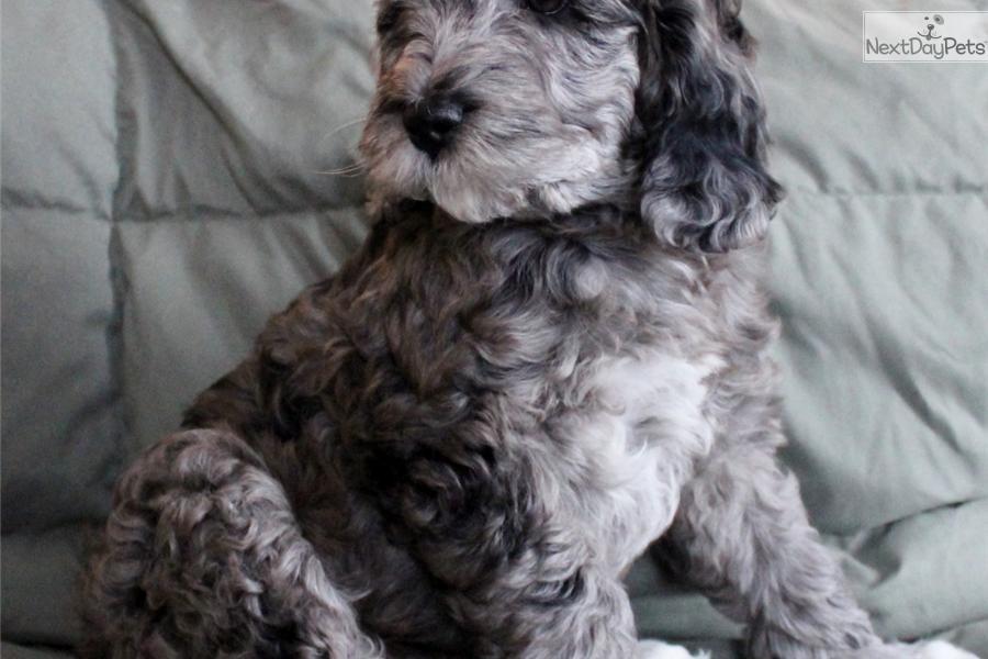 Adopt Luke A Labradoodle Puppy For Male Australian