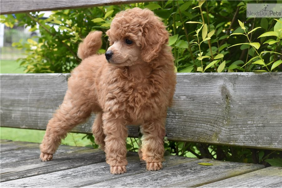 Paddington Bear Poodle Toy Puppy For Sale Near Northern