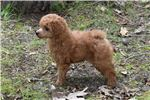 Picture of AKC Red Poodle Puppy.. Little Bear