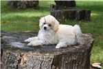 Picture of AKC White Blue/Brown Eyed Boy