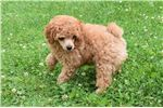 Picture of AKC Red Poodle Puppy... Brother Bear