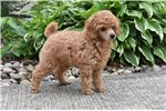 Picture of AKC Red Poodle Puppy... Paddington Bear