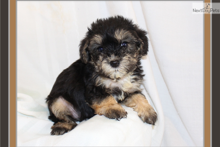 Maggie: Yorkiepoo - Yorkie Poo puppy for sale near Little