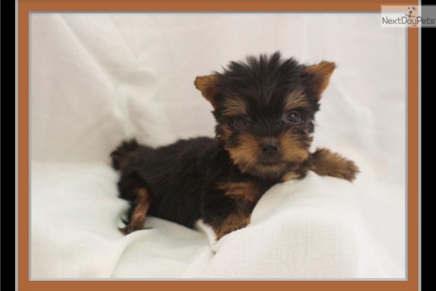 Paris Yorkshire Terrier Yorkie Puppy For Sale Near Little Rock