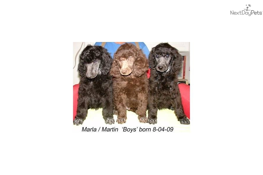Puppies For Sale From Ashs Mystical Poodles Member Since
