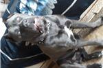 Picture of Blue Italian mastiff
